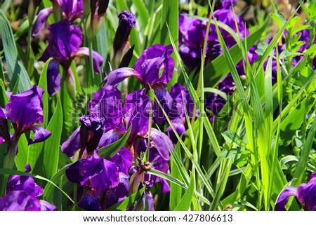 Iris flowers abstract background lawn. Wildflowers daisies. Summer landscape. delicate spring flowers. fleur-de-lis - stock photo