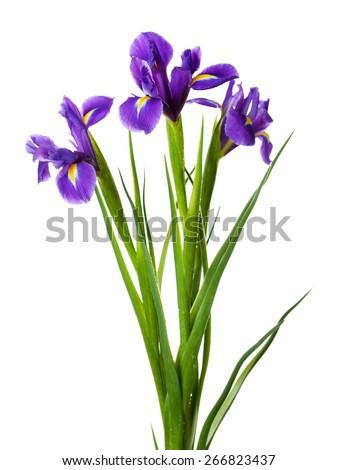 Iris flowers isolated on white - stock photo