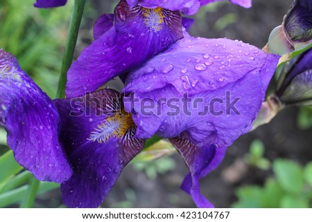 Irises after the rain. Iris flower with rain drops on the petals.  Green scenery, outdoor, fresh flowers.  Beautiful lilac irises in spring. Seasonal flowers. Greeting card, invitation. - stock photo