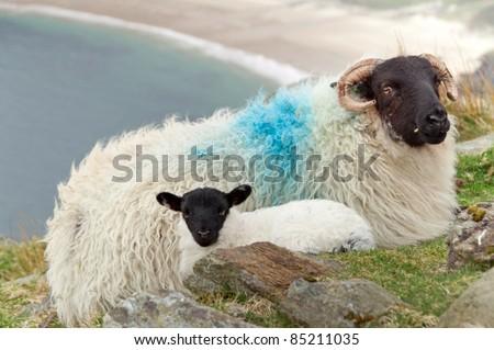 Irish ram with small lamb - stock photo