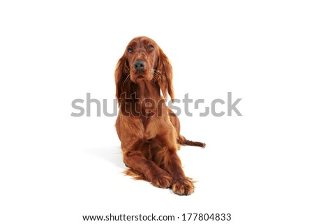 Irish Red Setter on white background - stock photo