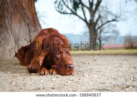 Irish setter dog laying down on sand - stock photo