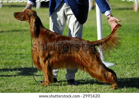 Irish Setter poses for the judges - stock photo