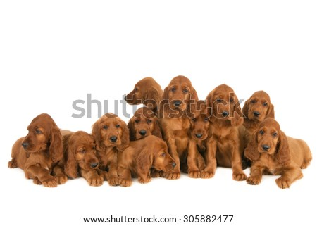 Irish setter puppies (from one nest) isolated on white  - stock photo