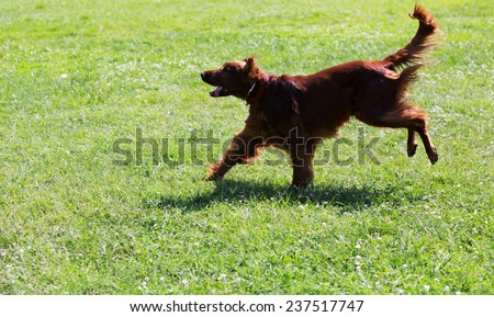 Irish Setter running  at park - stock photo