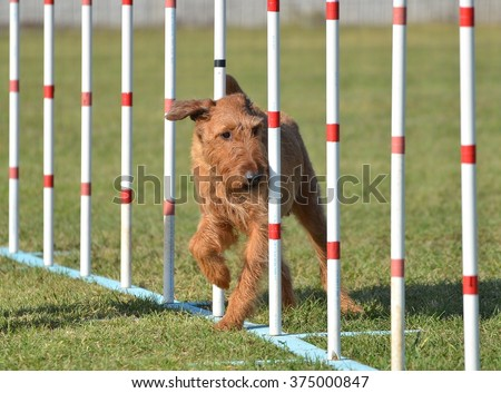 Irish Terrier Doing Weave Poles at Dog Agility Trial - stock photo