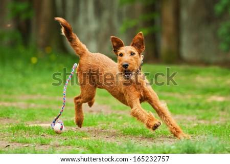 Irish terrier playing with ball - stock photo