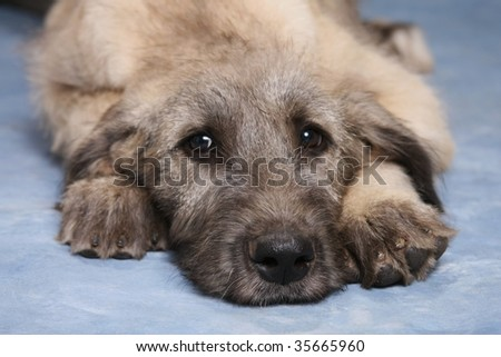 Irish Wolfhound Puppy - stock photo