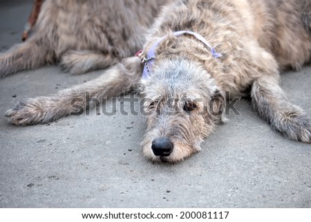 Irish Wolfhound resting. Portrait  Funny dog - stock photo