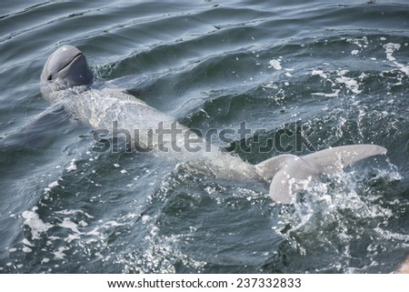 Irrawaddy dolphin swimming in ocean.  - stock photo