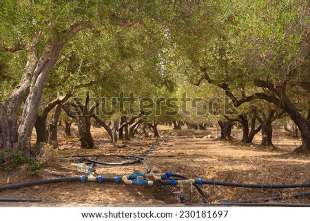 Irrigated olive grove on a hot summer day on Crete island, Greece. - stock photo