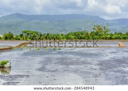 Irrigated rice paddies with seedlings ready for the season's planting. - stock photo