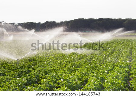 Irrigation in Field of growing potatoes. Valladolid Spain. - stock photo