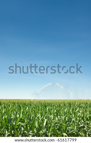 Irrigation of a green cornfield - stock photo