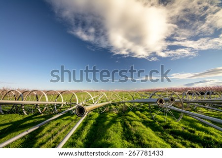 Irrigation pips lead to flowering trees of an orchard - stock photo