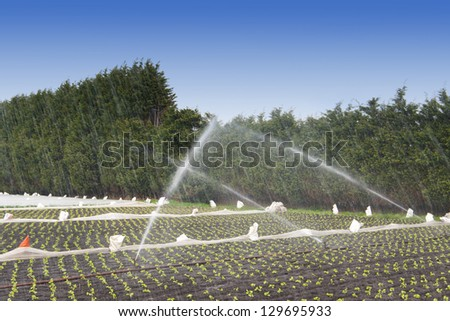 irrigation watering strawberry crops at a field - stock photo