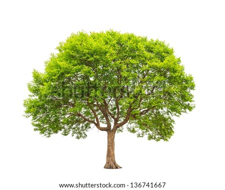 Irvingia malayana also known as Wild Almond, tropical tree in the northeast of Thailand isolated on white background - stock photo