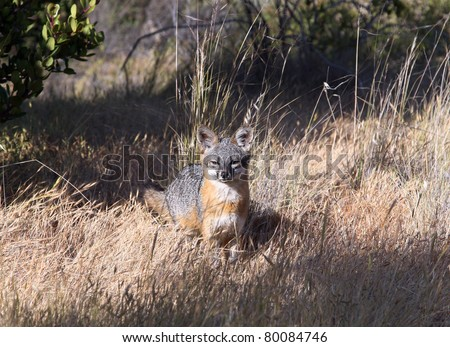 island fox - stock photo