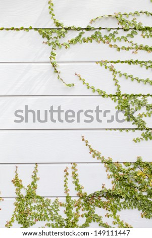 Island ivy walls , The ivy on the island along the walls white.  - stock photo