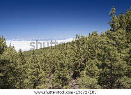Island Tenerif. Spain. Fine coniferous forests are above clouds. Smell of needles and the purest air. Beautiful vacation spot. - stock photo