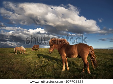 Islandic horses with blue cloudy sky - stock photo