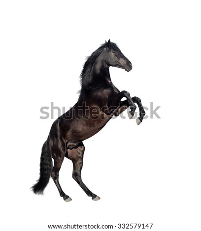 isolate of the black reared horse on the white background - stock photo