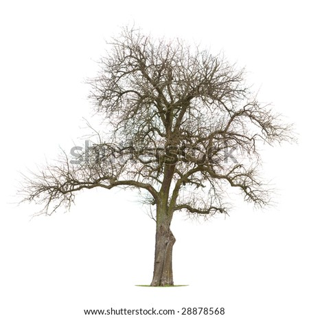 Isolated Apple tree in early spring/late winter - stock photo
