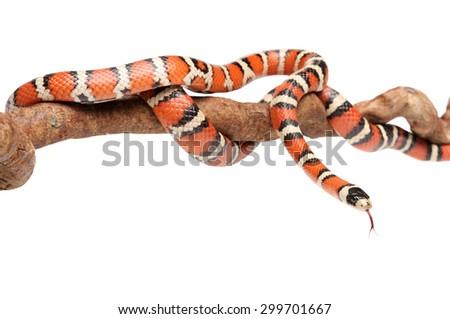 Isolated Arizona mountain king snake or Lampropeltis pyromelana on branch - stock photo