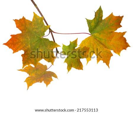 Isolated autumn leaves on white background - stock photo