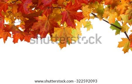 Isolated autumn maple leaves on white background - stock photo