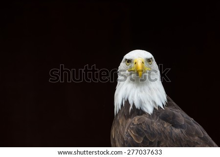 Isolated Bald Eagle portrait/Isolated Bald Eagle portrait/Isolated Bald Eagle portrait against a black background - stock photo
