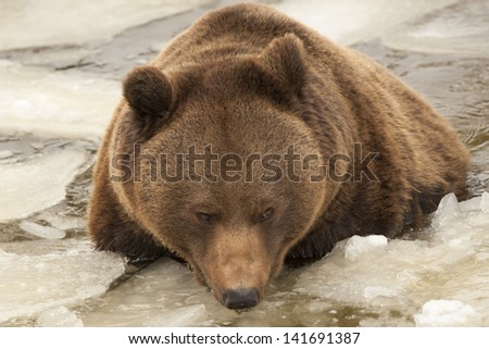 Isolated black bear brown grizzly playing in the ice water - stock photo
