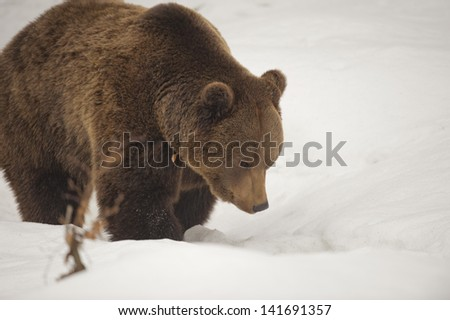 Isolated black bear brown grizzly walking on the snow - stock photo