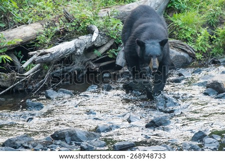 Isolated Black Bear while crossing the river - stock photo