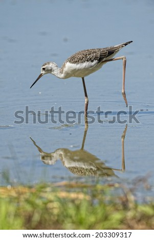 Isolated  black-winged stilt looking at you and reflecting on water - stock photo