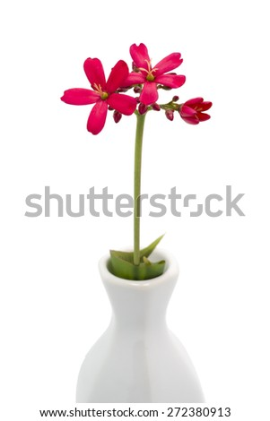 Isolated blossom of a spicy jatropha plant. - stock photo