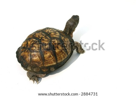 Isolated Box Turtle - stock photo