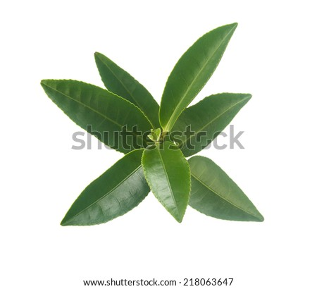 Isolated branch of fresh green tea on the white background - stock photo