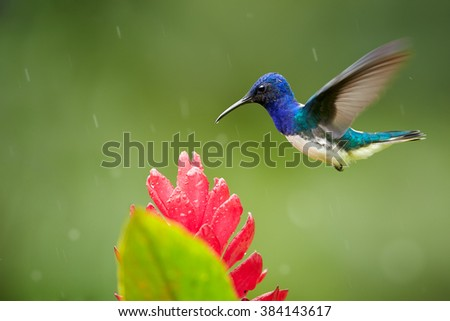 Isolated, bright blue and green hummingbird, White-necked Jacobin,Florisuga mellivora hovering over red ginger flower with raindrops, Alpinia purpurata,against abstract green background. Side view. - stock photo