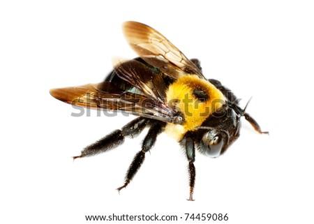 isolated bumblebee - stock photo
