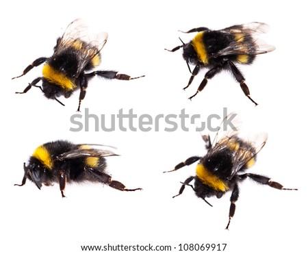 Isolated Bumblebee on white background (macro shot) - stock photo
