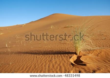 Isolated bush in a Sahara Dune - stock photo