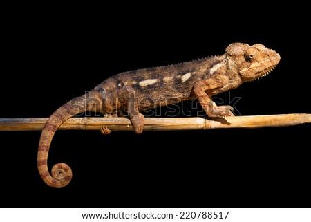 Isolated chameleon in Madagascar, presumably the Oustalets or Malagasy giant chameleon (Furcifer oustaleti) - stock photo