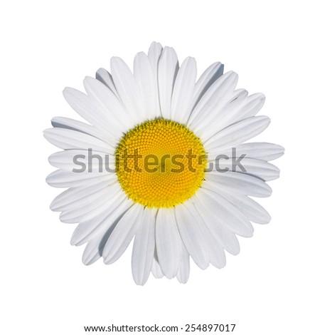 Isolated chamomile  on white background - stock photo