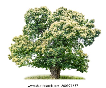 isolated chestnut tree on a white background - stock photo