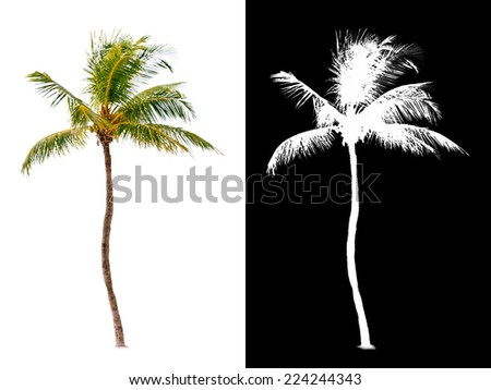 Isolated coconut palm tree with alpha channel. - stock photo