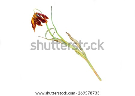 Isolated dried flowers tulips  - stock photo