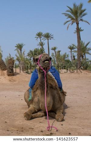 Isolated Dromedar Camel sitting near Bedouin Oasis - stock photo