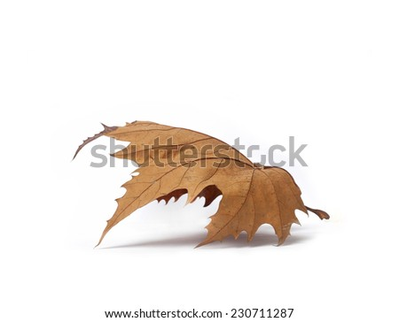 isolated dry autumn leaf, autumn leaf - stock photo