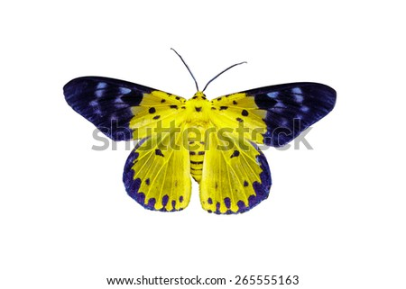 Isolated Dysphania militaris moths with clipping path - stock photo